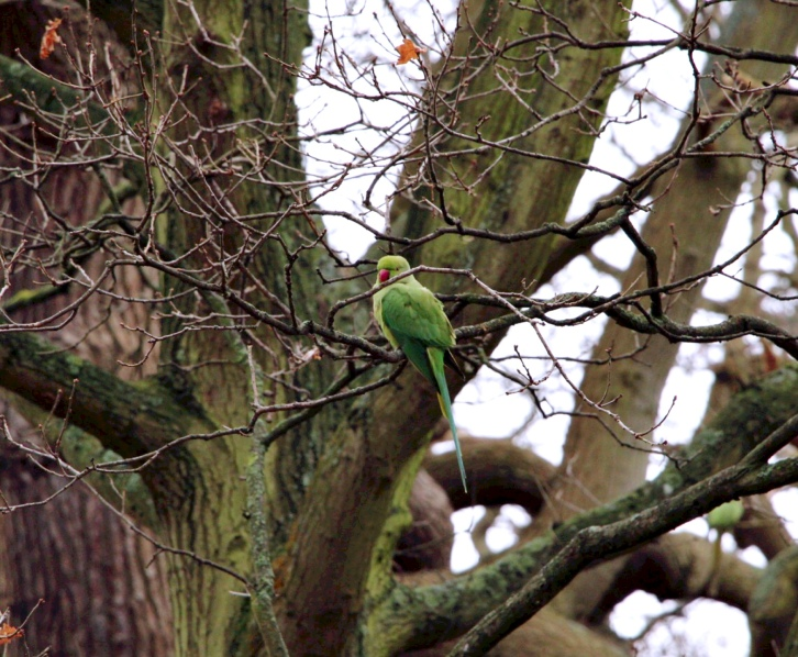 Green Parakeet. Copyright, Lexa
